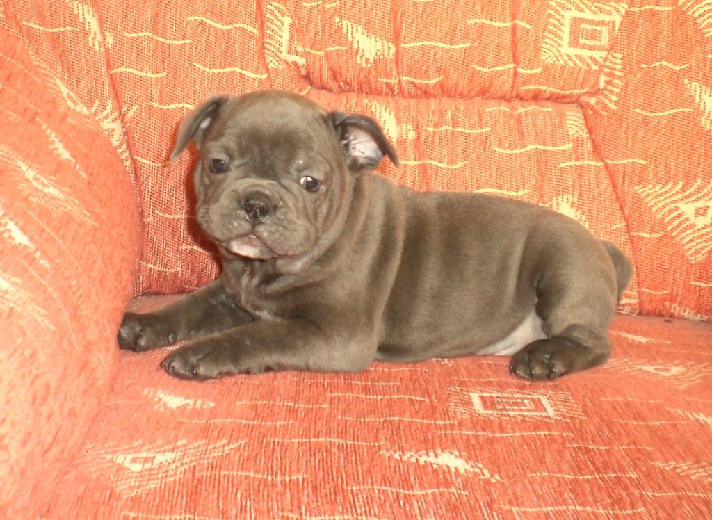 Verwonderend Franse Bulldog blauw pups te koop   Nestje Blauwe Franse Bul…   Flickr YM-36