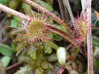 Drosera rotundifolia DSCF4078_edited_copy