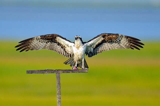 King Osprey