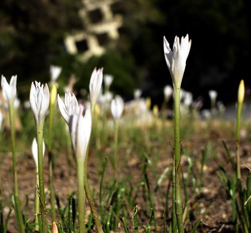 above flowers black flower green petals dof depthoffield petal bloom flowering blooms rise depth blooming rainlily riseabove rainlilies