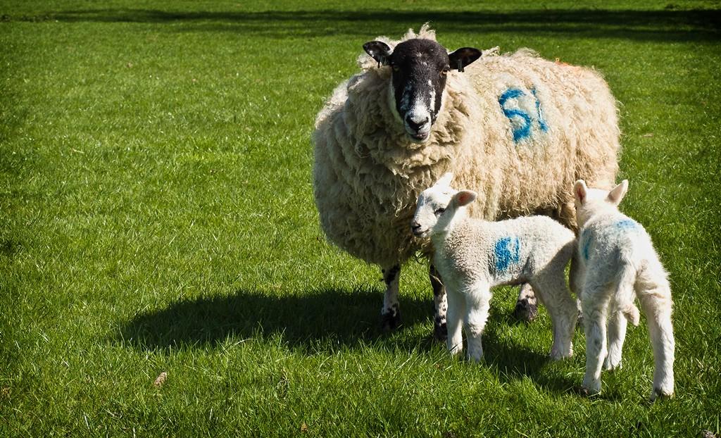 Sheeps SWC_20110409_05_DxO_1024x768