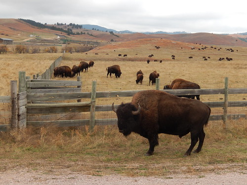 Custer State Park - bizons - 2