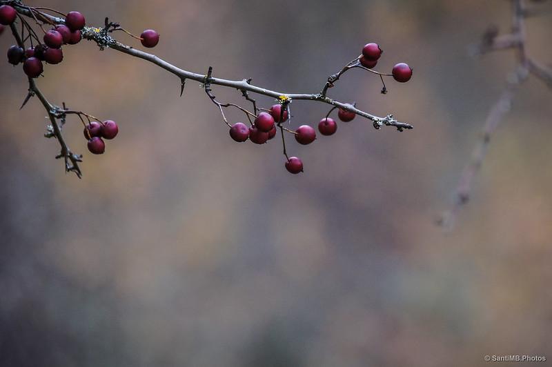 El fruto del espino