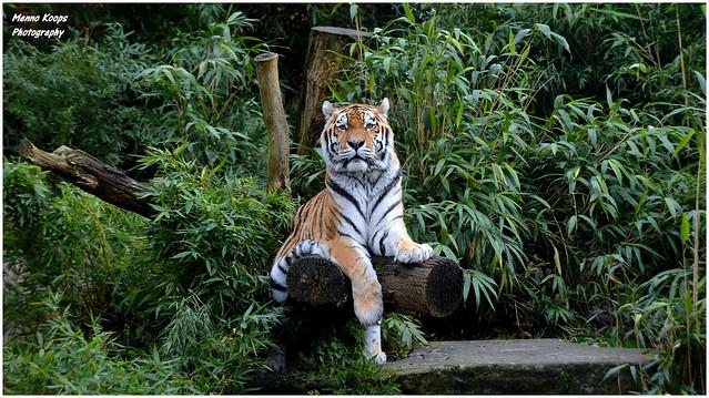 Siberian Tiger 'Rasputin' - Allwetterzoo Munster