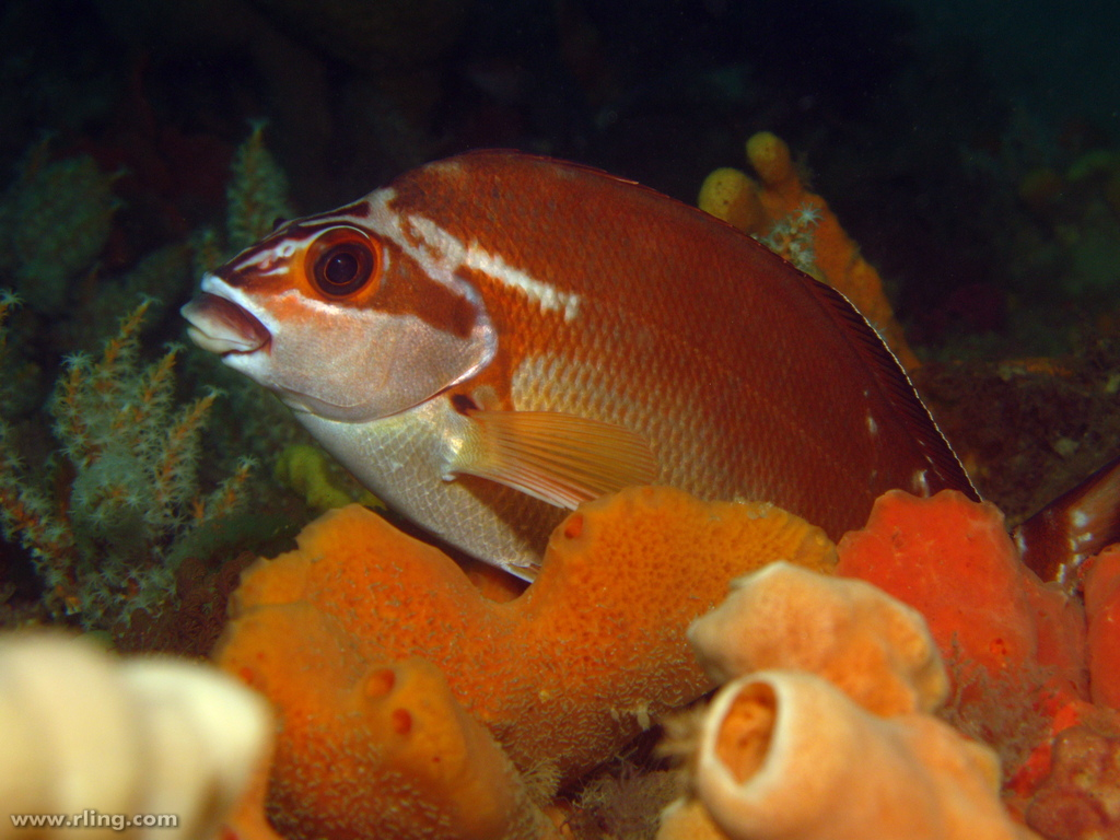 Red Morwong | A Red Morwong (Cheilodactylus fuscus) resting