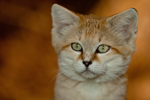 Sand Cat 62 | by RouvenW