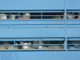 Sheep in a lorry | by Lezzles