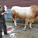 Cows & Oxen