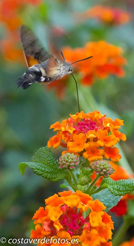 Macroglossum stellatarum  (46 of 128).jpg | by Vera Anikina