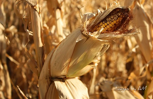 corn husk | by cdn-pix