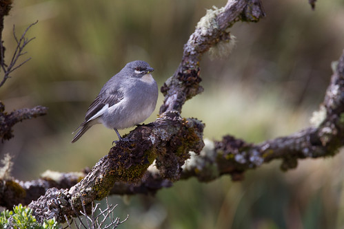 White-winged Diuca-Finch | by zeledonia