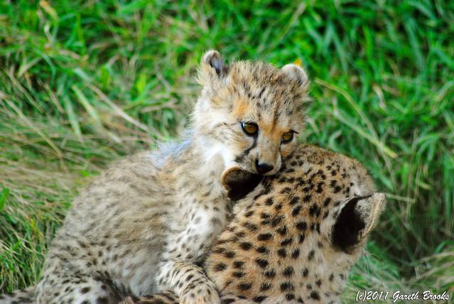 Hungry Cheetah Cub | 03-10-2011