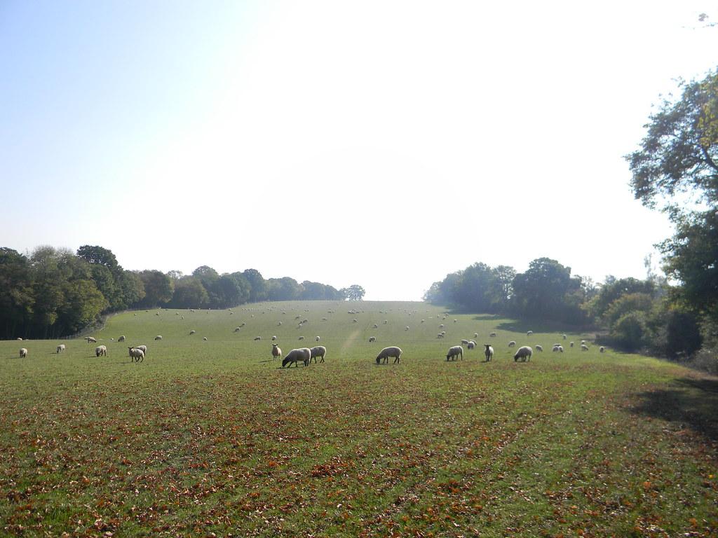 Sheep in a field. Ham Street to Appledore