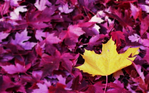 autumn fall leaves yellow leaf maple purple maroon background lonely nampa lakelowell dfav canyoncounty