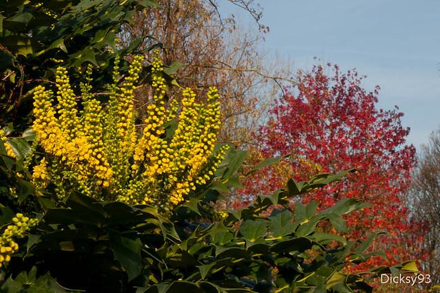 Mahonia à feuilles de houx et liquidambar