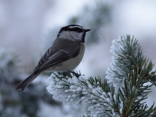 Mountain Chickadee 20111114 | by Kenneth Cole Schneider