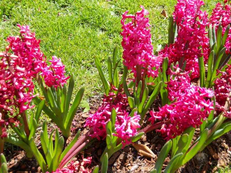 Hyacinthus v 5