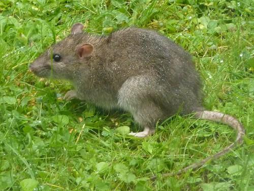 Grid Ref Finder >> Brown Rat - Rattus norvegicus 1a   Young Brown Rat Rattus ...