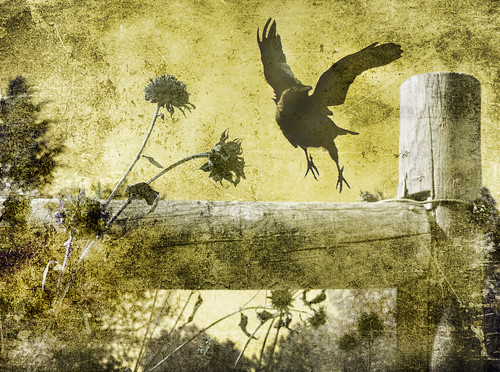 fall texture photoshop canon fence flying sunflowers crow dying vegitation thecrow timepassing blackcrow texturedlayers canoneosdigitalrebelxsi saariysqualitypictures magicunicornverybest magicunicornmasterpiece jackaloha2