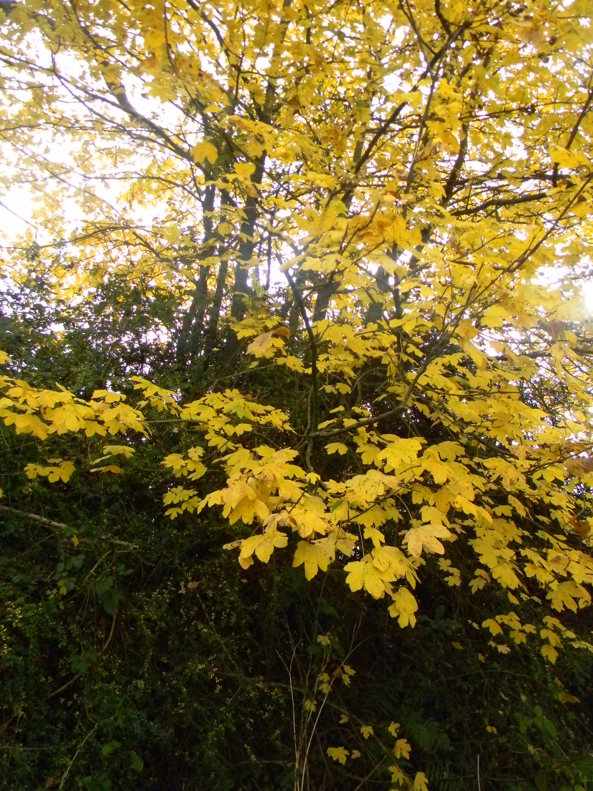 Yellow tree Witley to Haslemere