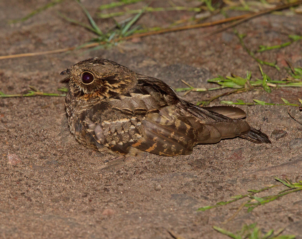 Little Nightjar       Atajacaminos Chico          Caprimulgus parvulus