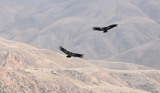 A pair of condors in Flight | by USFWS Pacific Southwest Region