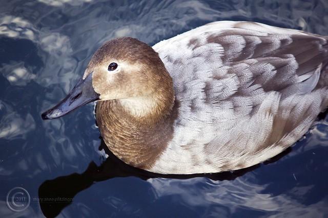 MAP6404 Looking Duckie