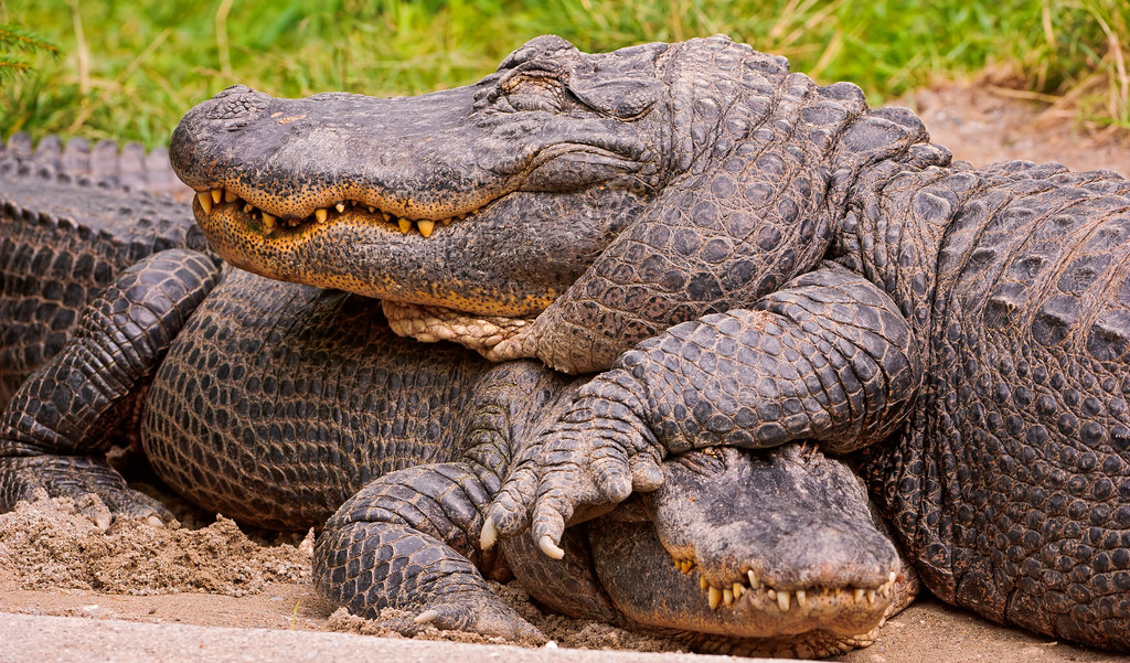 Two cute alligators | Two alligators of the Walter Zoo lying… | Flickr