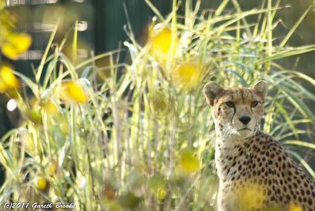 Cheetah Bokeh