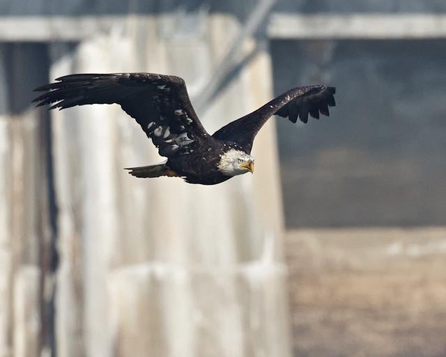 Bald_Eagle_0573_11-09-2011_Resized