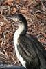 Black-Faced Cormorant (Phalacroroax fuscescens) by sloanbj