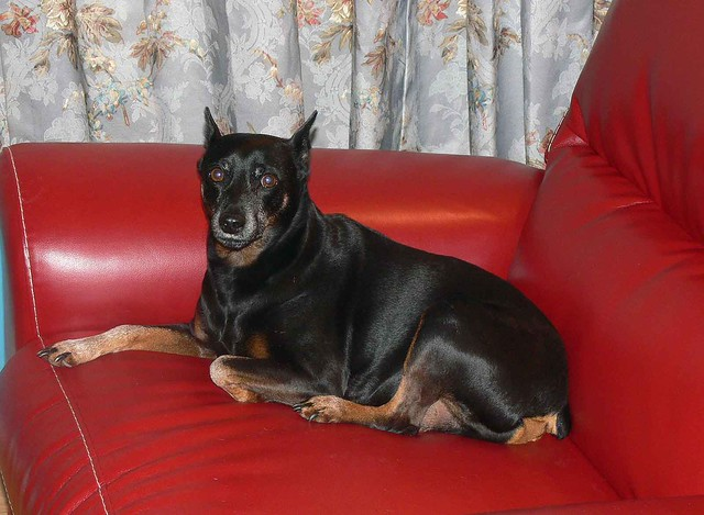 Duke - The Miniature Pinscher