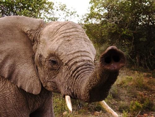elephant shamwari