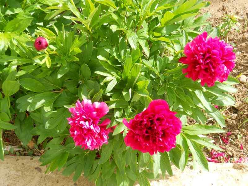 Peonías en flor