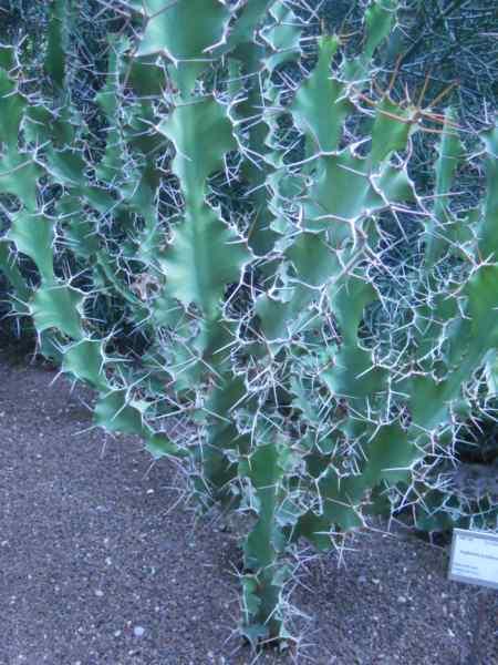 Euphorbia grandicornis v 1