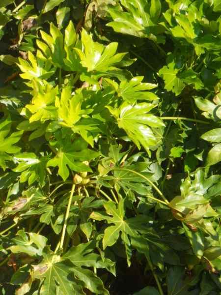 Fatsia japonica v 3
