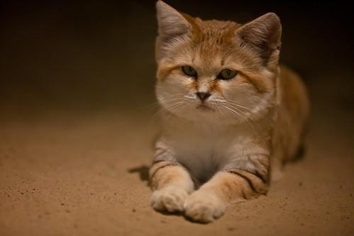 Sand Cat 21