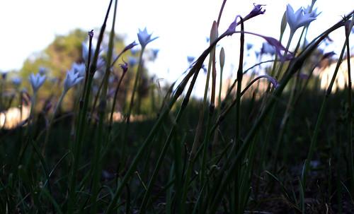 flowers flower macro whiteflower stem dof depthoffield stems depth diffused bluelight diffuse whiteflowers rainlily rainlilies