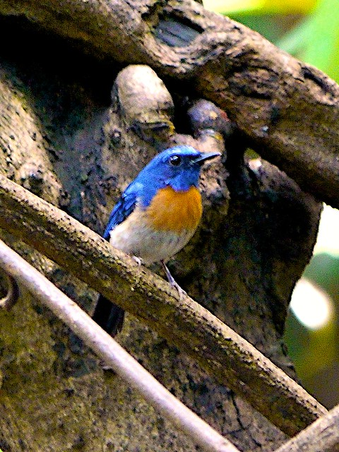 Malaysian Blue Fly Catcher