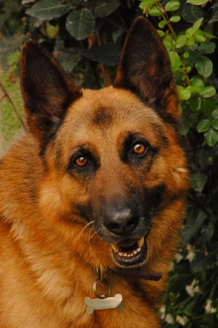 Retrato de un perro fiel