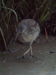 Clapper Rail, Mispillion Point, DE