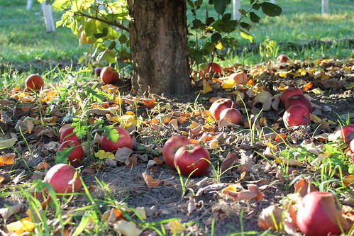 Apples on the ground. | by ironypoisoning