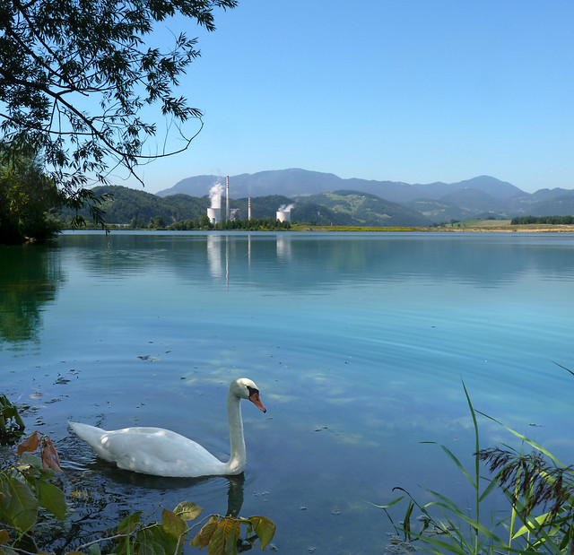 Swan lake in Slovenia