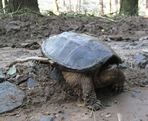 Snapping turtle crossing a logging road