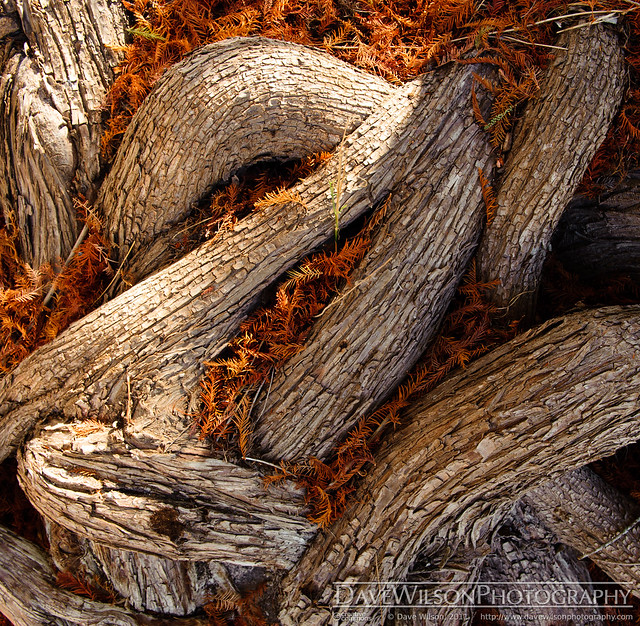 Cypress Root and Needles