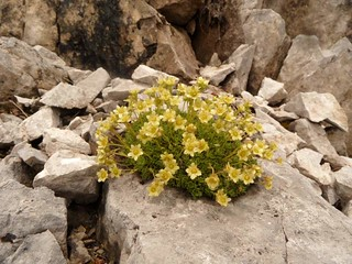 Alpin flower | by Eva0206