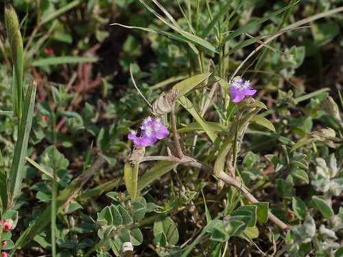 commelinaceae spiderwortfamily dayflowerfamily