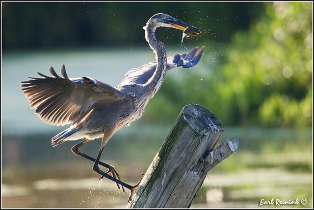 Great Blue Heron (20100828-1295)