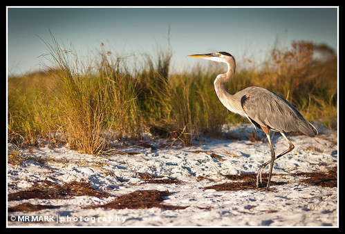 morning blue sunlight bird beach heron grass sunrise sand florida wildlife great fl destin sanctuary greatblueheron protected destindunes