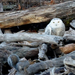 Snowy Owl & Squirrel | by Mike's Birds